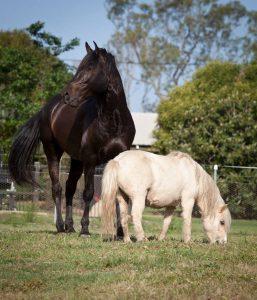 Stallion with his mini companion