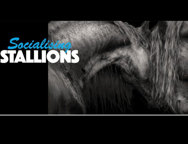 socialising stallions