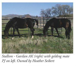 socialising stallions2